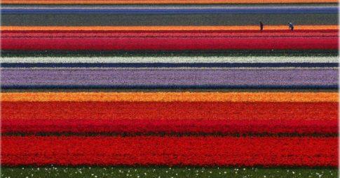 Trabalhadores em uma plantação de tulipas na Holanda - Reprodução