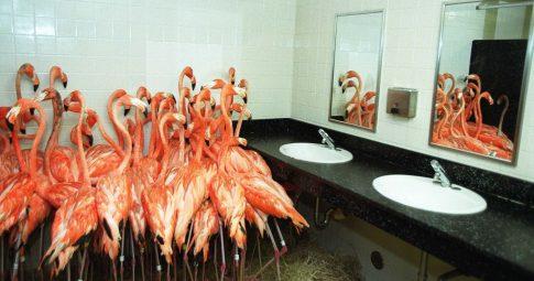 Flamingos do zoológico de Miami são protegidos em banheiro durante a passagem do furacão Irma - Tim Chapman/Newsmakers/Getty Images